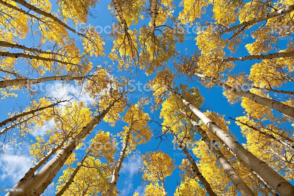 Fall Colored Aspens in the Inner Basin stock photo