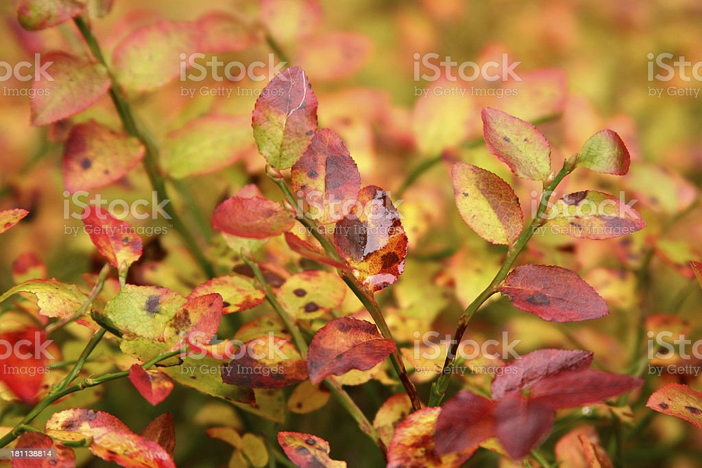 fall colored twigs royalty-free stock photo