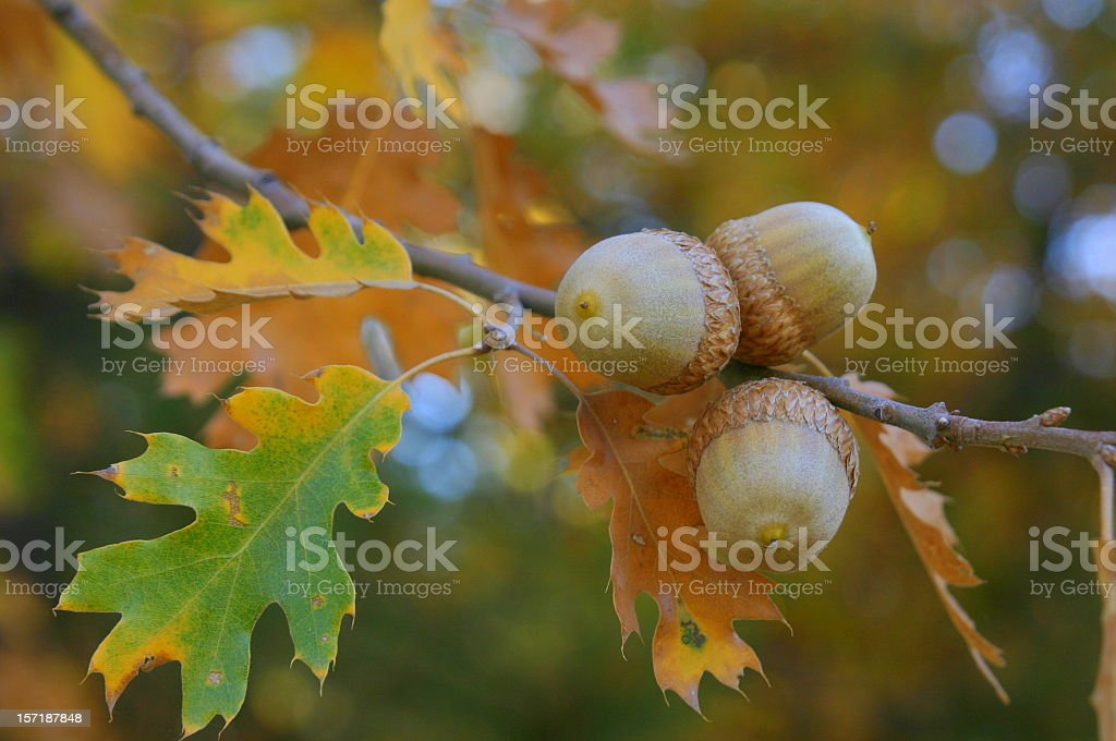 Fall Colors Acorns stock photo