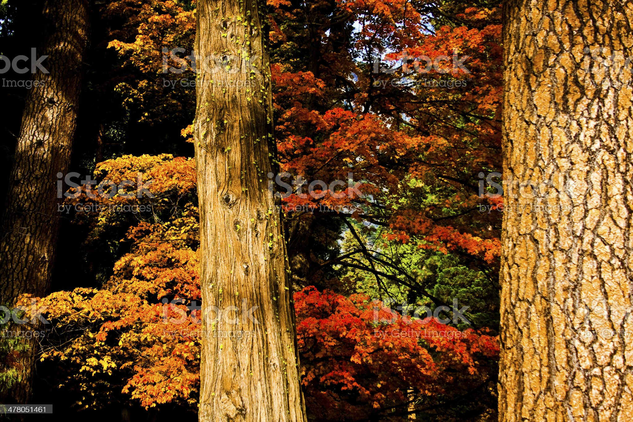 Fall colors in a tree forest royalty-free stock photo