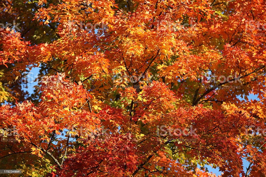 Fall colors in Michigan royalty-free stock photo