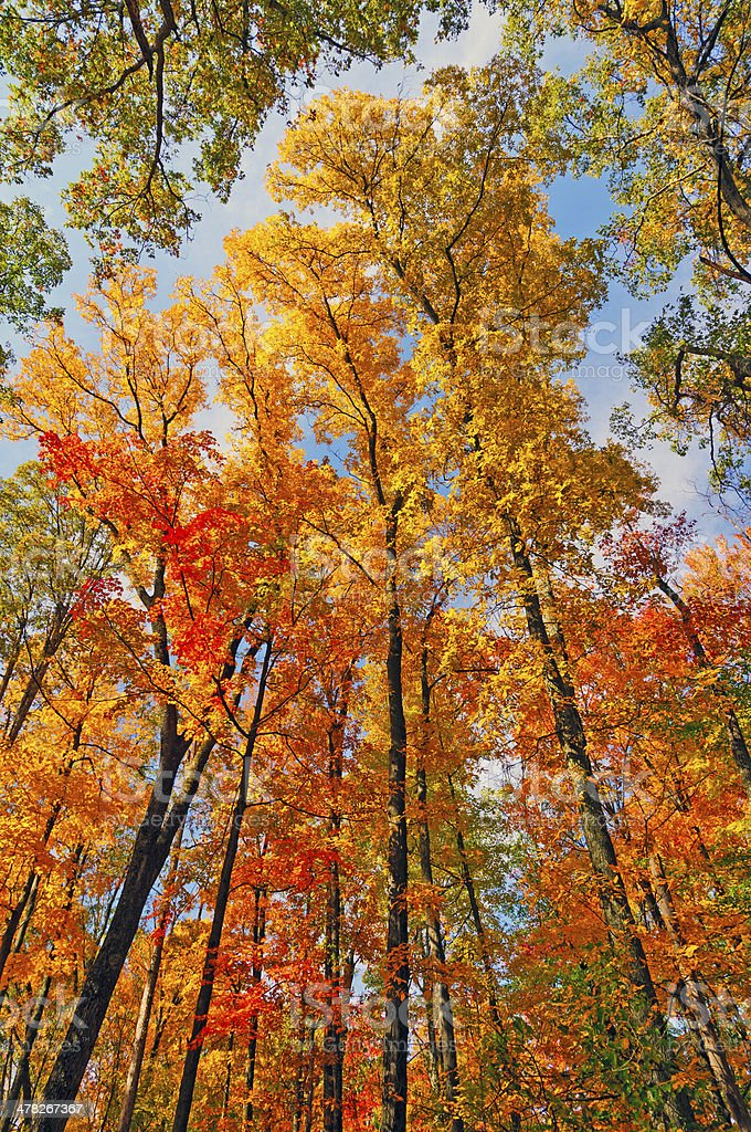 Fall Colors in the Canopy stock photo