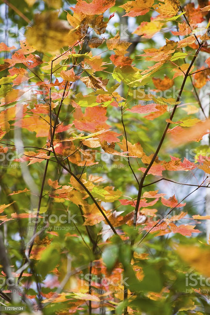 Fall Colors: Maple Leaves royalty-free stock photo