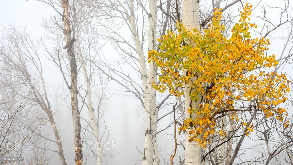 Fall colors on Aspens with FOG stock photo