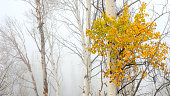 Fall colors on Aspens with FOG