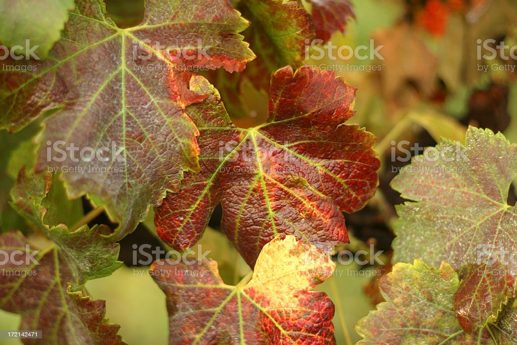 Fall Colors on Grape Leaves stock photo