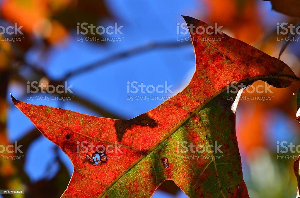 Fall colors on turkey oak leaf wit blue sky background stock photo