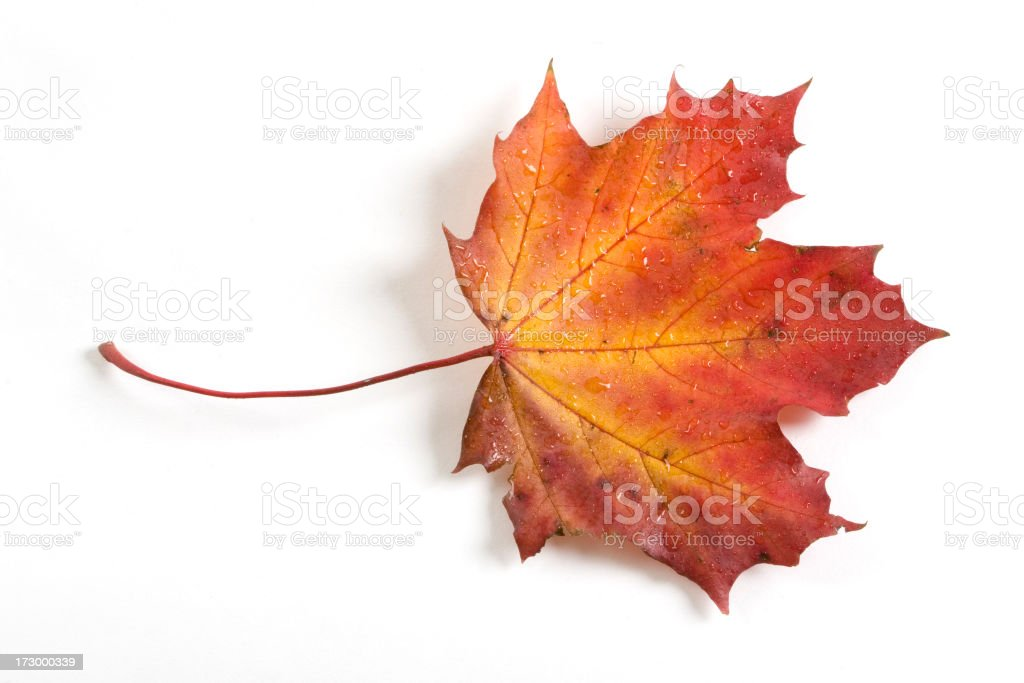 Fall Colour Maple Leaf royalty-free stock photo