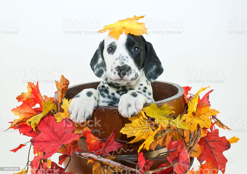 Fall Dalmatain Puppy stock photo