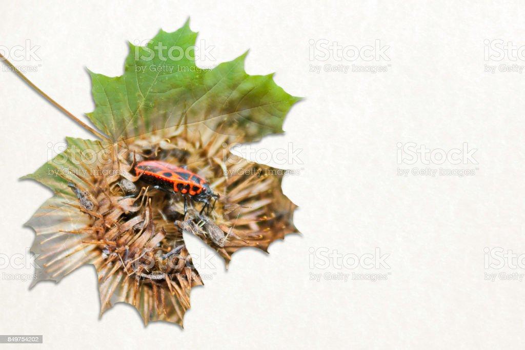 Fall double exposure in leaf and Pyrrhocoris apterus stock photo