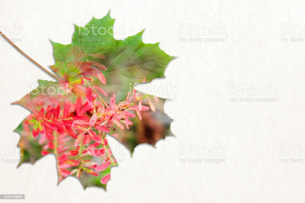 Fall double exposure in leaf and red flower stock photo