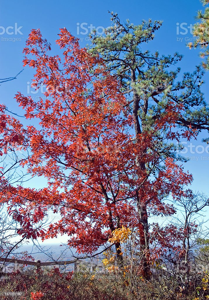 Fall Foliage Against a Bright Blue Sky royalty-free stock photo