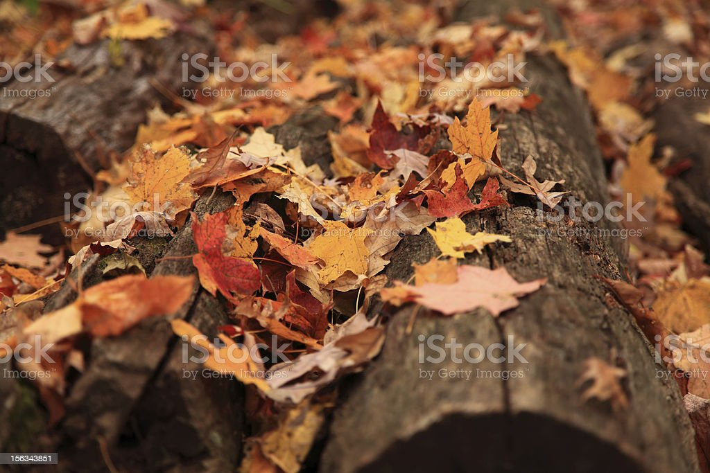 Fall foliage and maple leaves scattered on wooden logs royalty-free stock photo