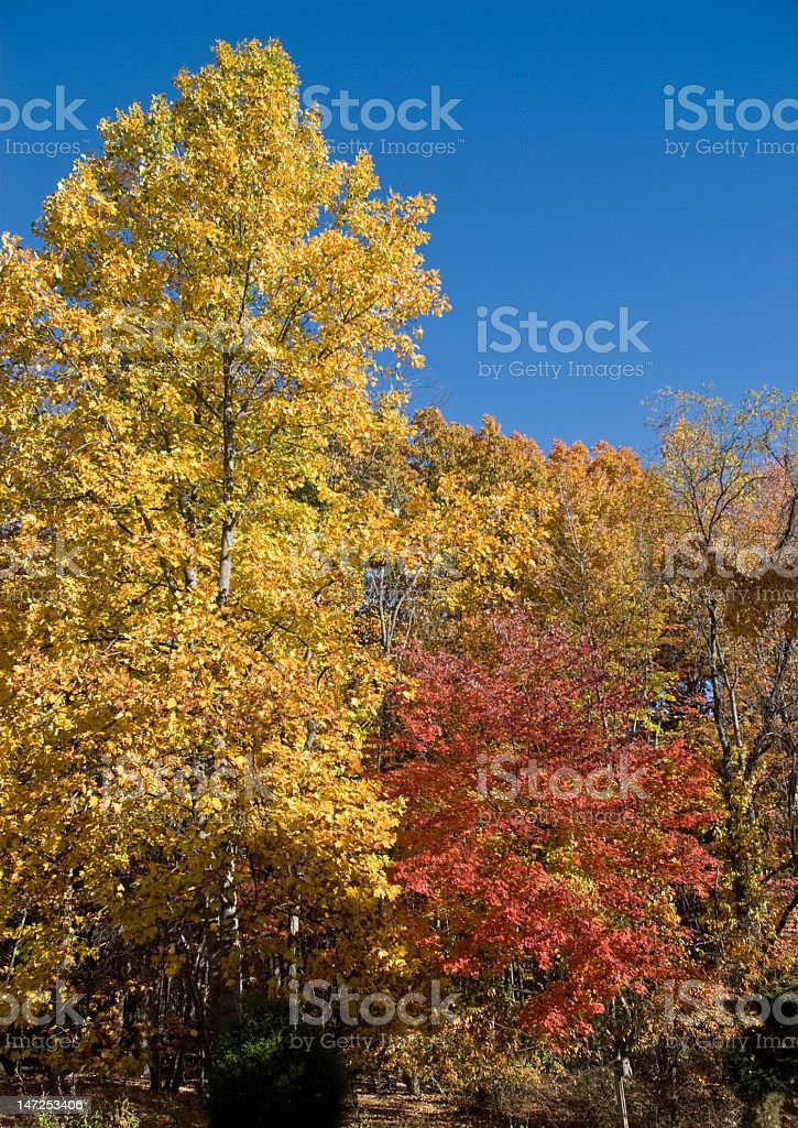 Fall Foliage in Golden Color royalty-free stock photo