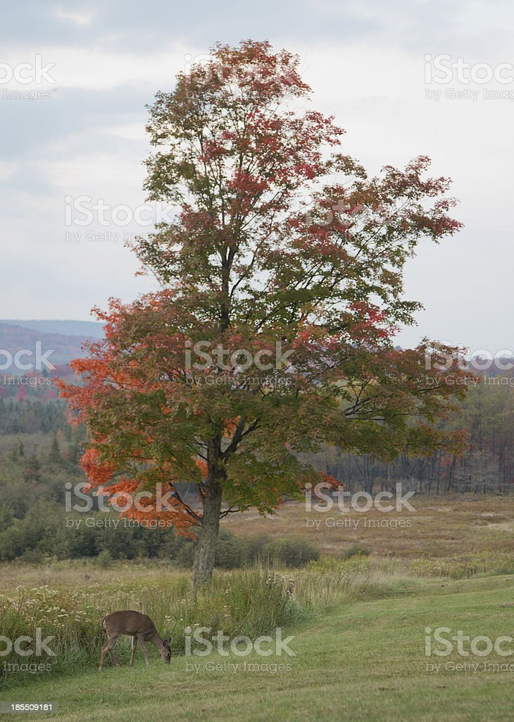 Fall Foliage Tree and deer stock photo