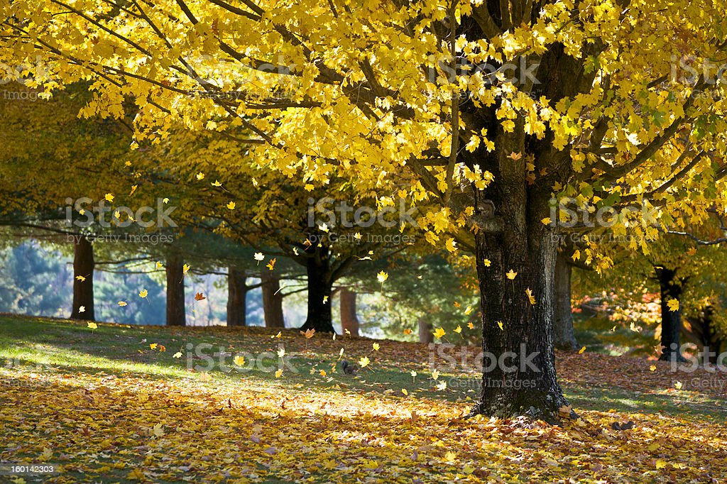 Fall Foliage Yellow Maple Leaves Falling From Tree in Autumn royalty-free stock photo