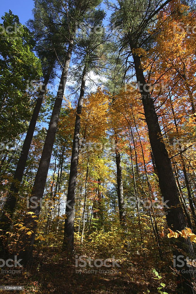 Fall Forest in Maine with White Pine and Maple royalty-free stock photo