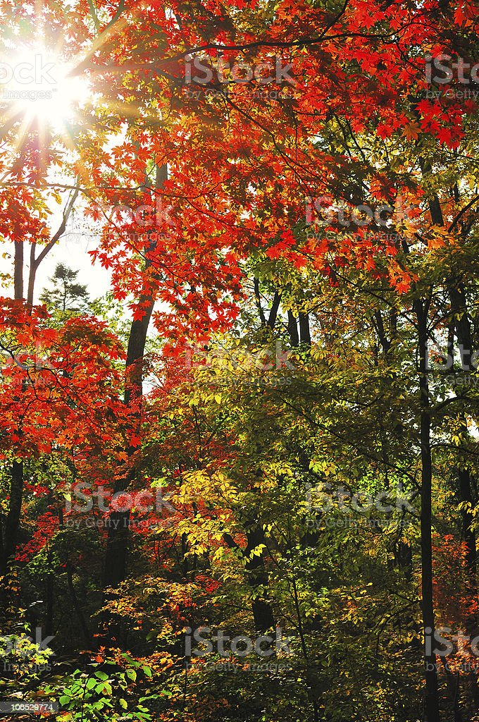 fall forest landscape with the maple foliage stock photo
