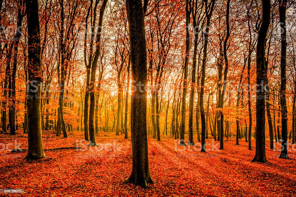 Fall forest morning light stock photo