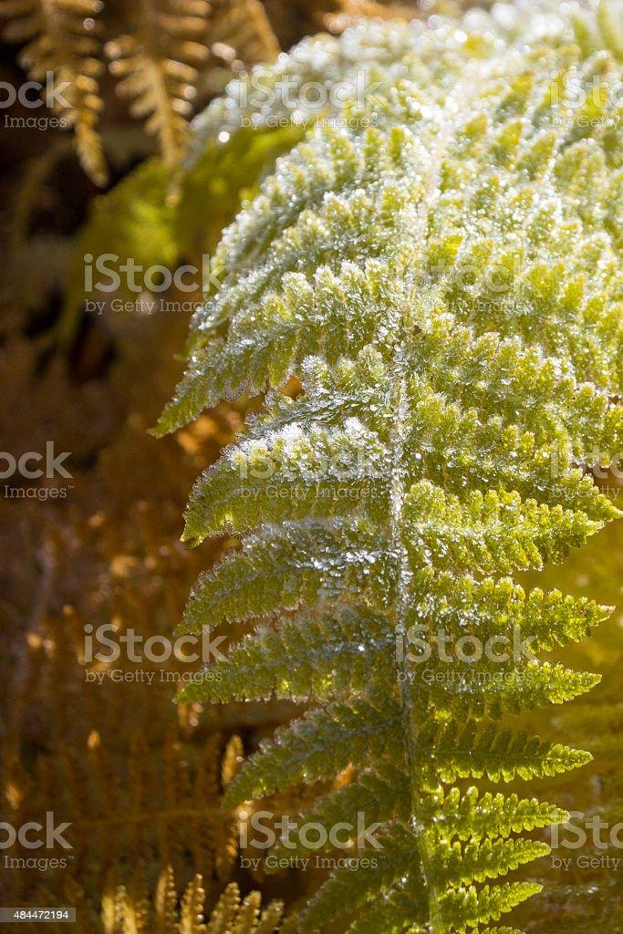 Fall Frost on Fern stock photo