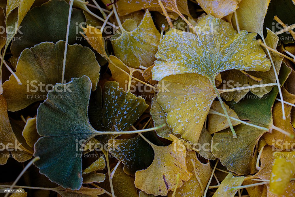 Fall Ginko leaves in frost stock photo