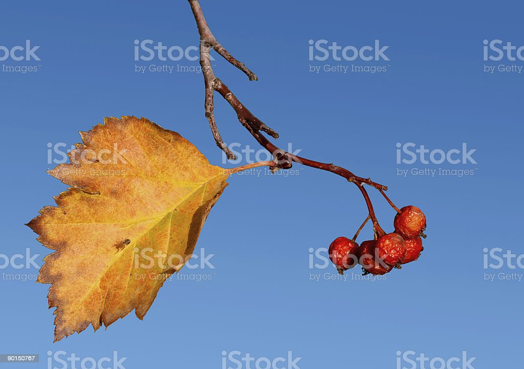 Fall hawthorn royalty-free stock photo