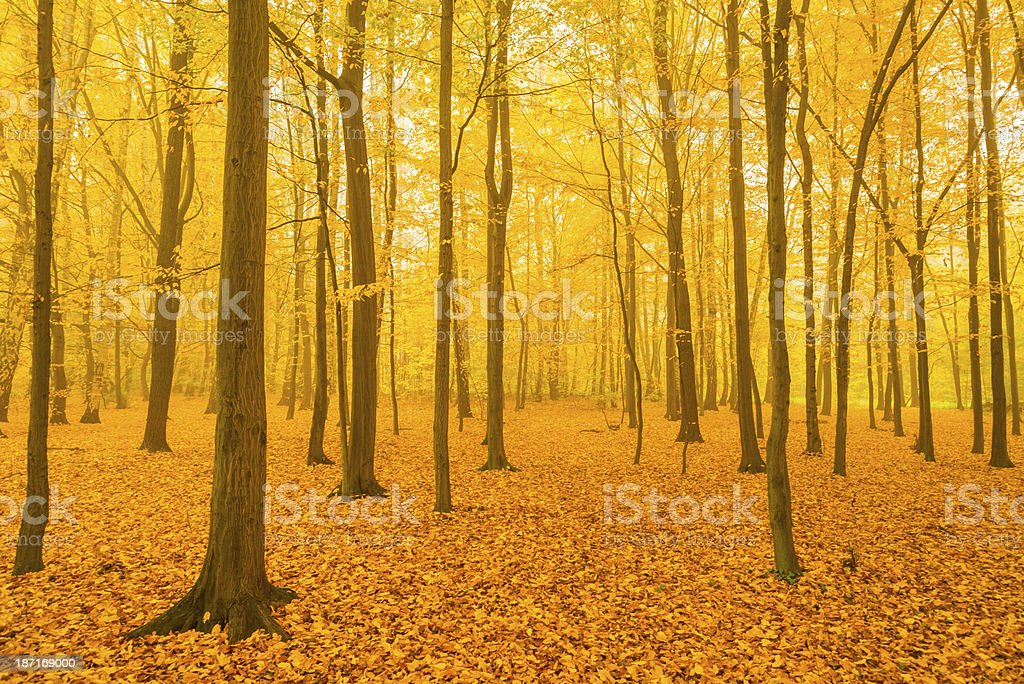 Fall in Forest - 36 Mpx royalty-free stock photo