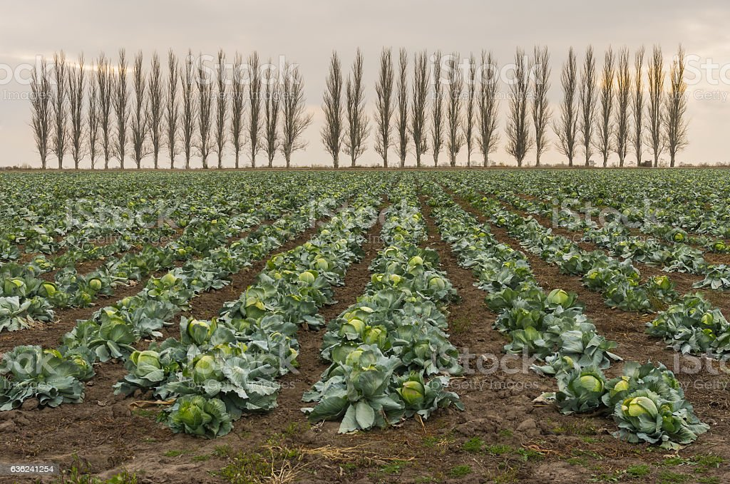 Fall landscape with rows of mature cabbage stock photo