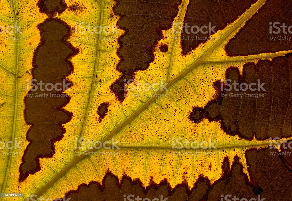 Fall leaf detail royalty-free stock photo