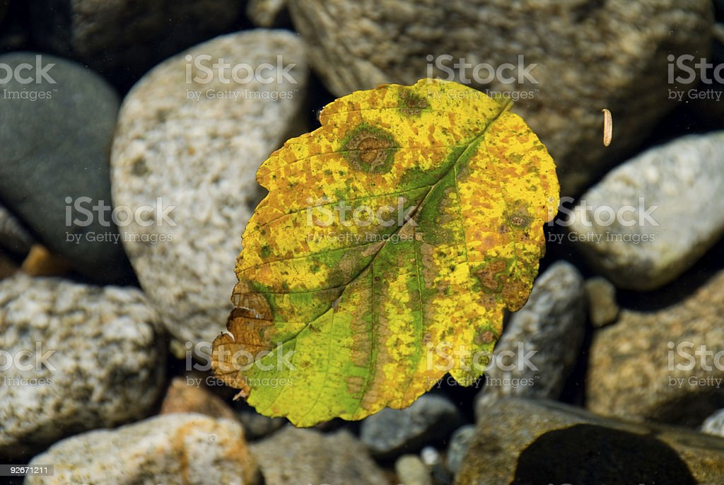 Fall Leaf Floating in a Mountain Stream stock photo