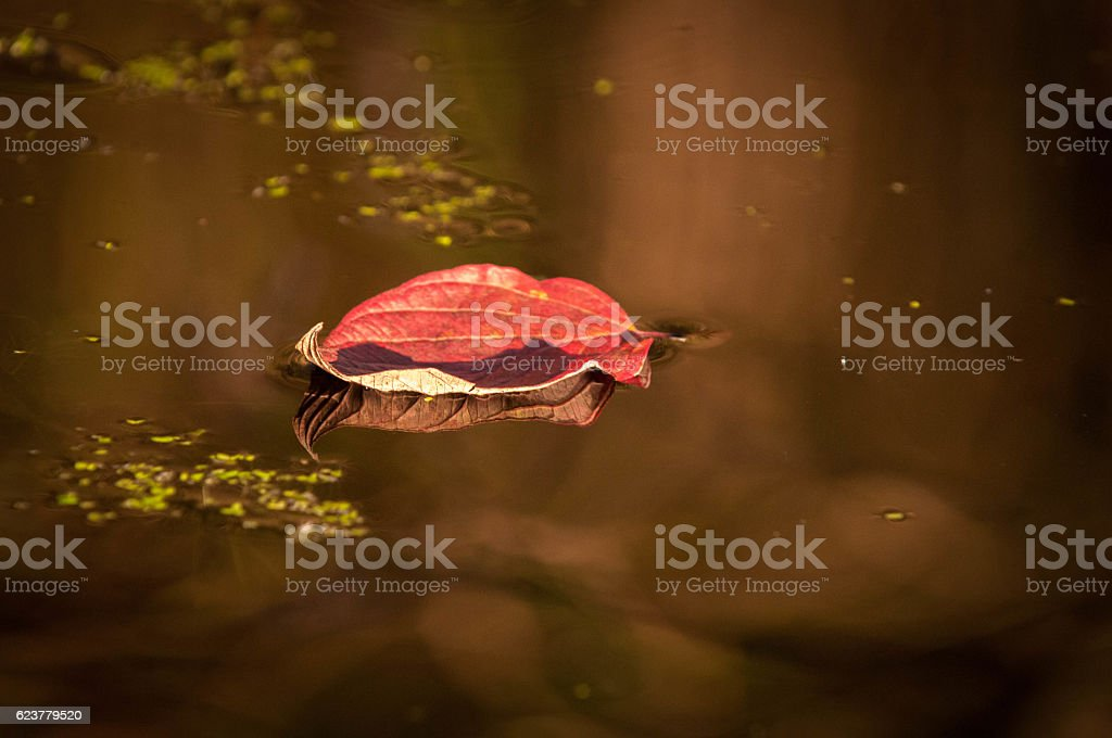 Fall Leaf Floating In A Pond stock photo