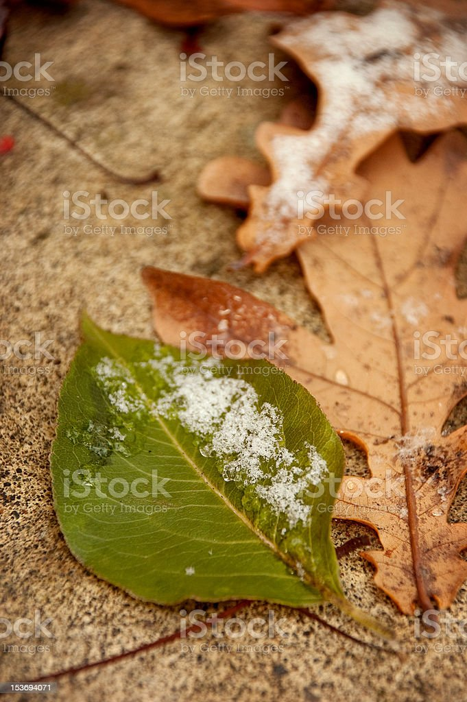 Fall Leaf in Winter Snow royalty-free stock photo