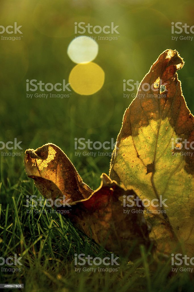 Fall Leaf with Light Ray royalty-free stock photo