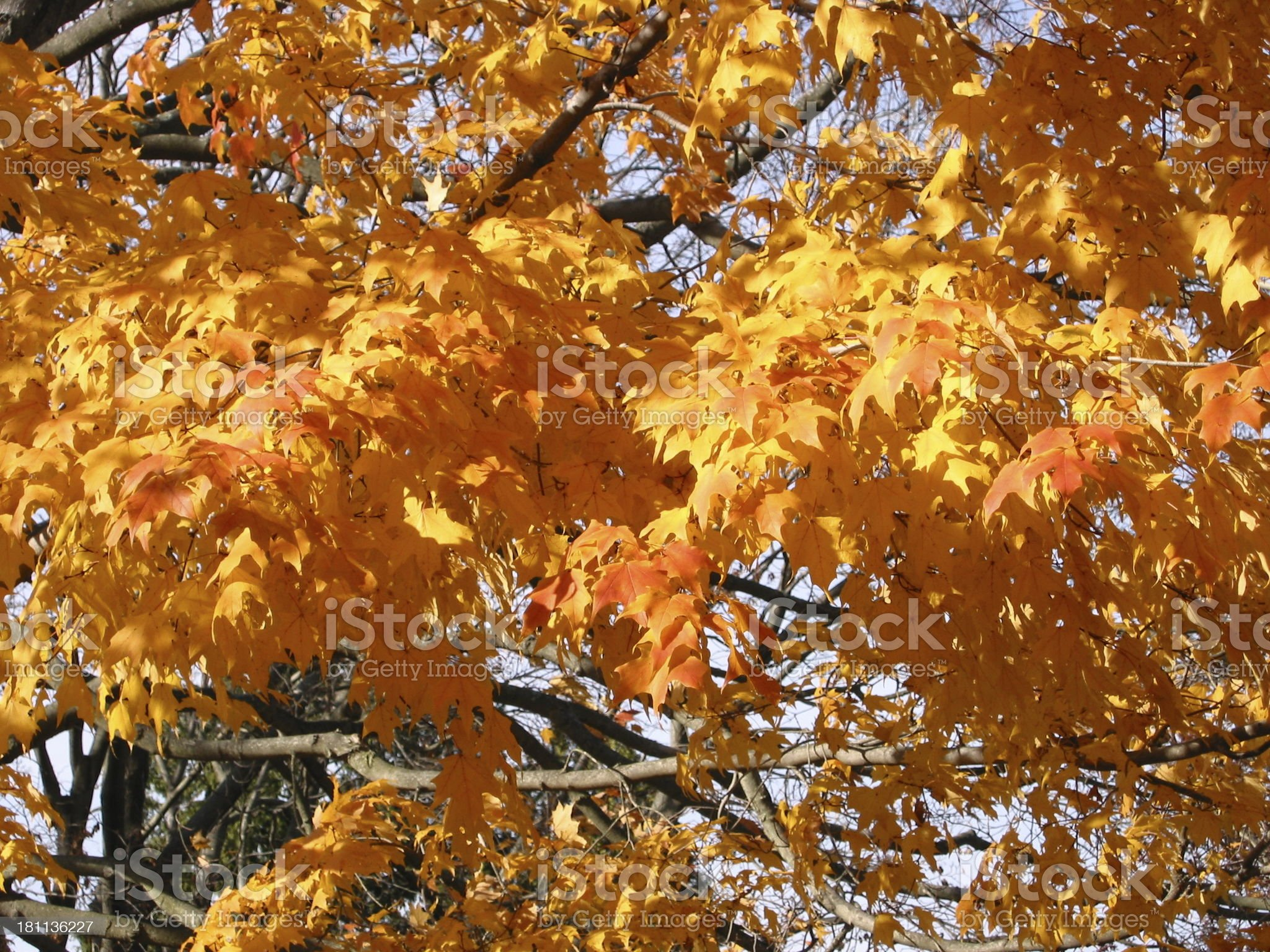 Fall Leaves - a royalty-free stock photo