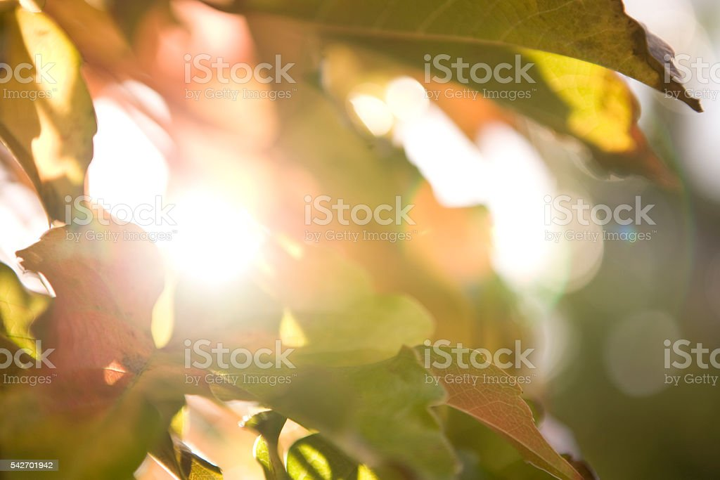 Fall leaves close with lens flare stock photo