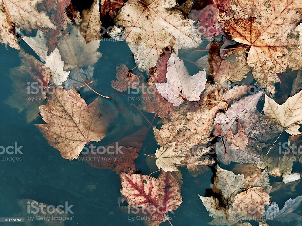 Fall leaves in a puddle of water 2 royalty-free stock photo