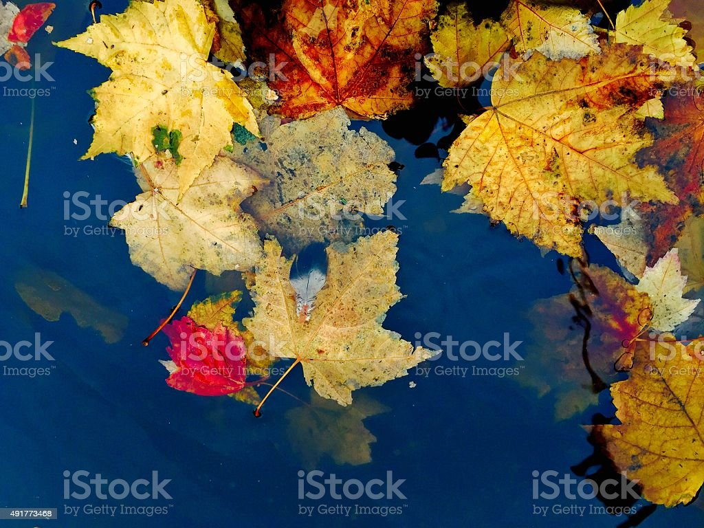 Fall leaves in a puddle of water royalty-free stock photo