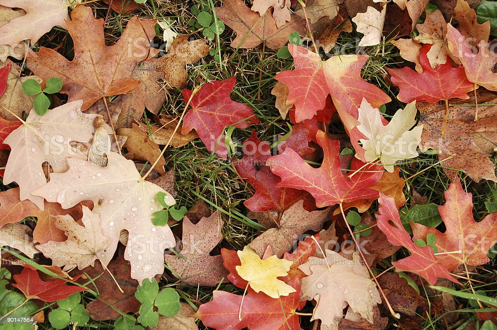 Fall Leaves in Grass royalty-free stock photo