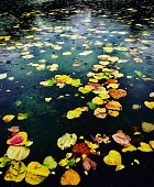 Fall leaves in pond during rain