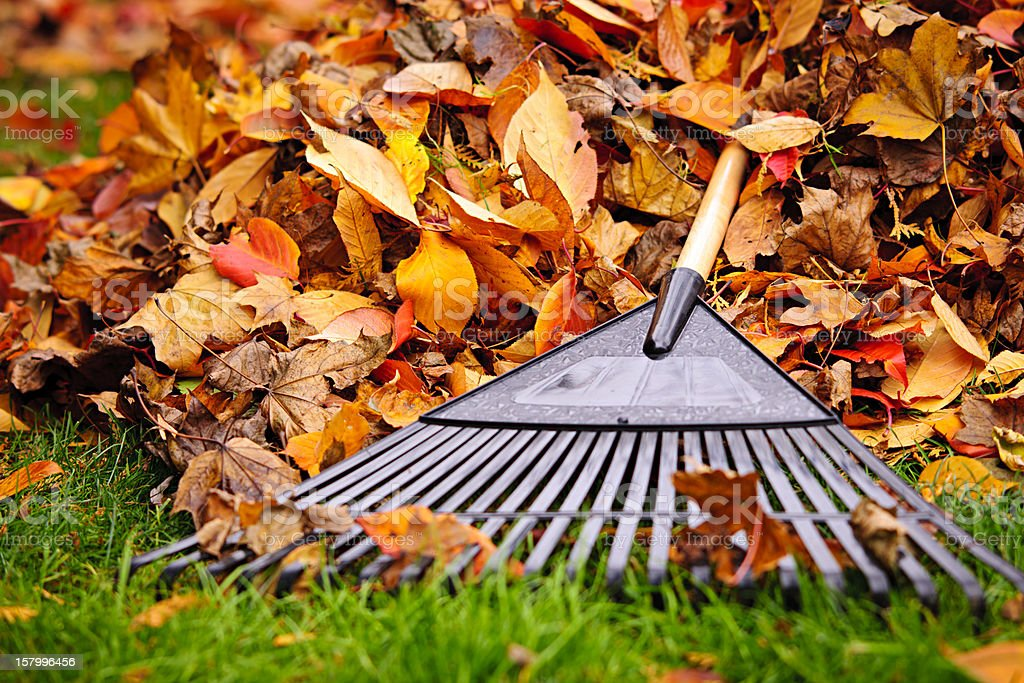 Fall leaves in the green grass with a rake laying on them stock photo