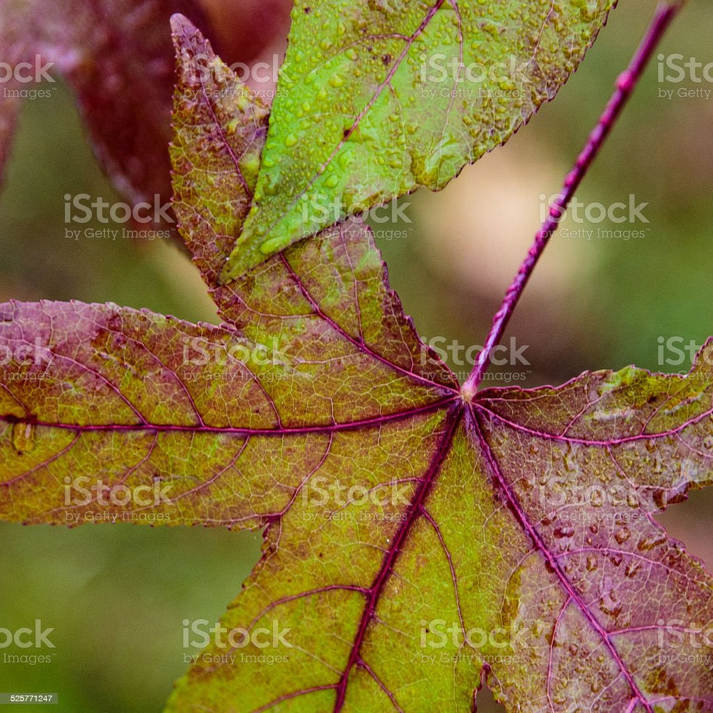 Fall Leaves in the rain stock photo