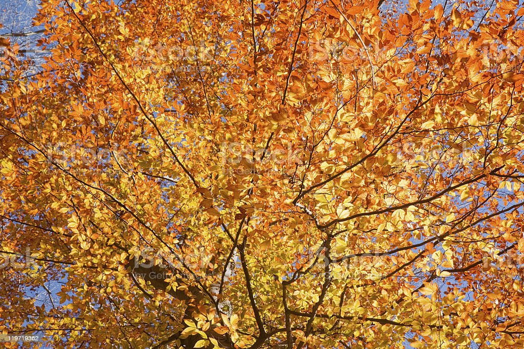 Fall leaves of American beech royalty-free stock photo