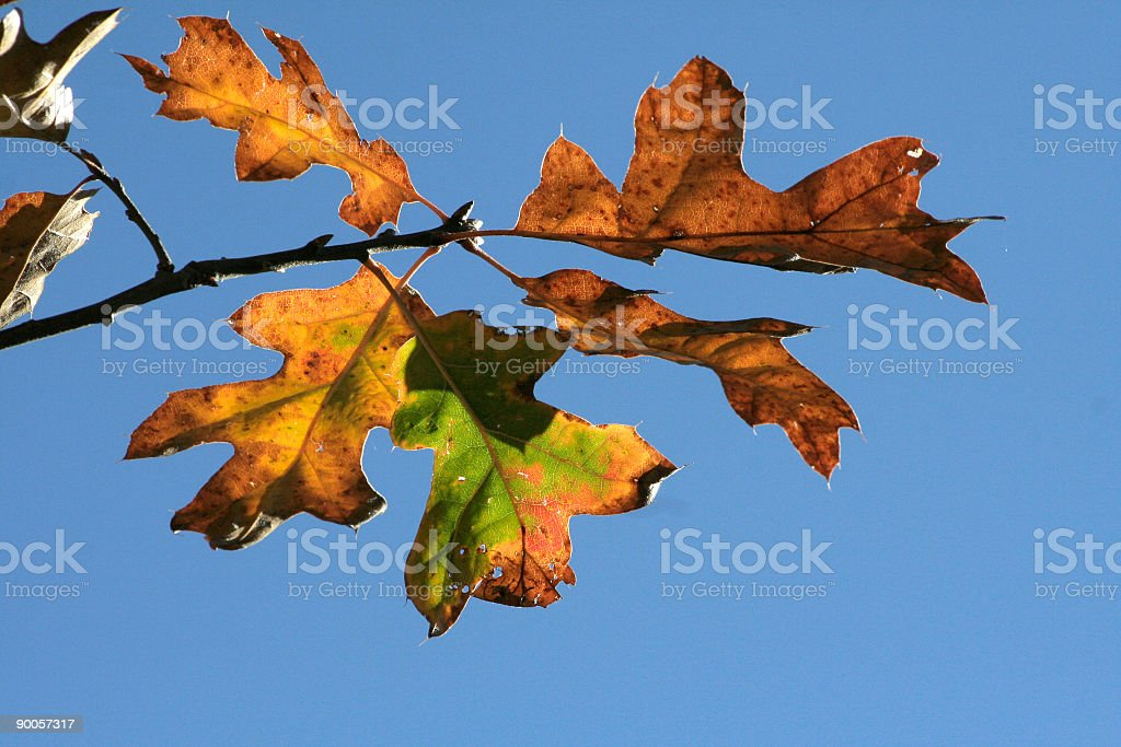 Fall Leaves on branch royalty-free stock photo