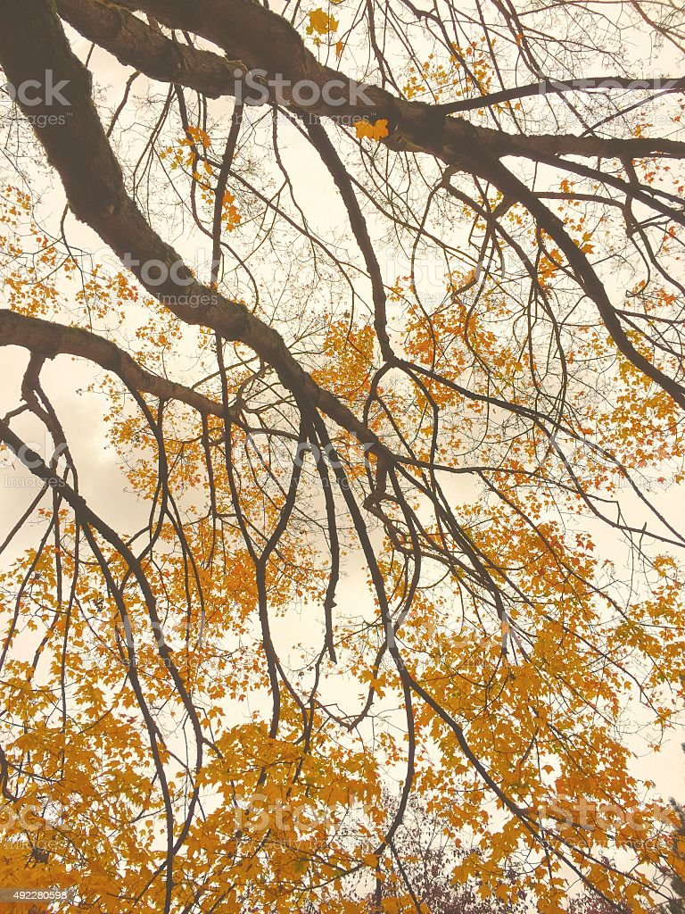 Fall leaves on tree royalty-free stock photo
