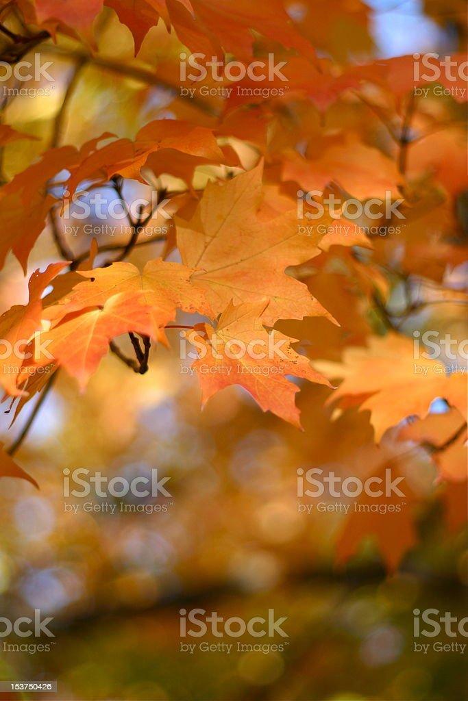 Hojas de otoño foto de stock libre de derechos