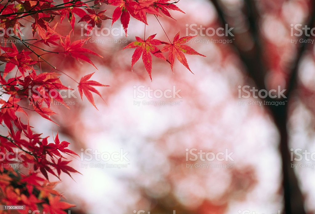 Fall Leaves royalty-free stock photo
