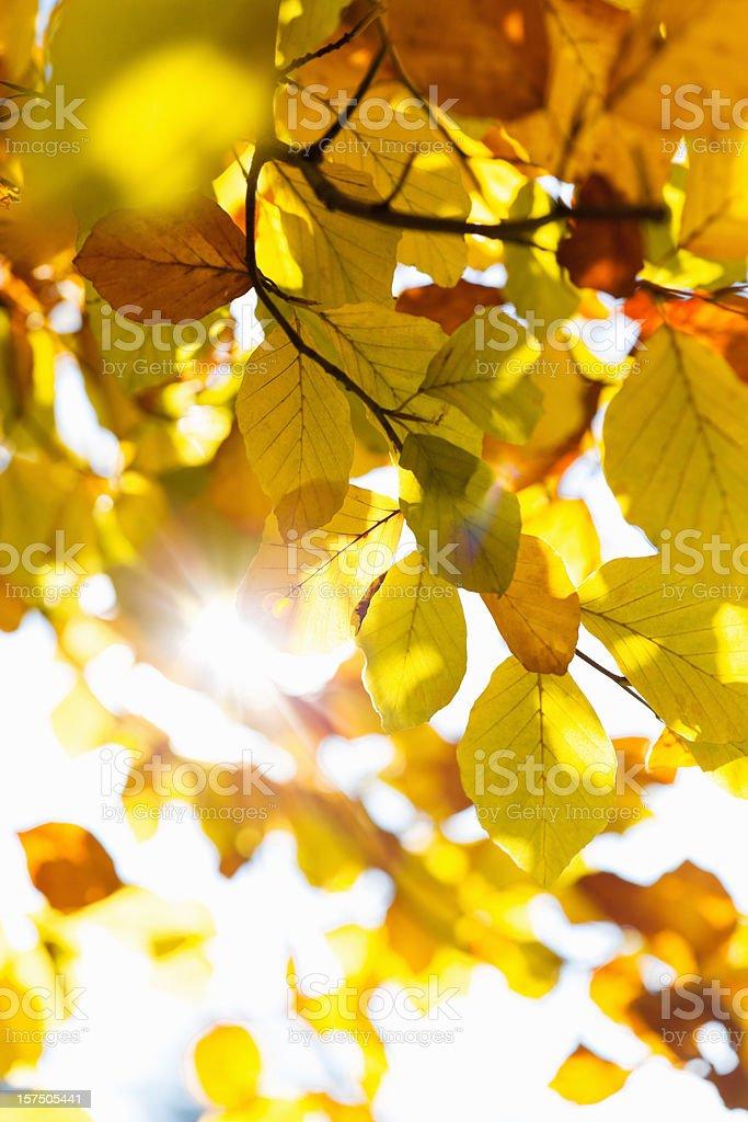 Fall Leaves Sun Falling Through royalty-free stock photo