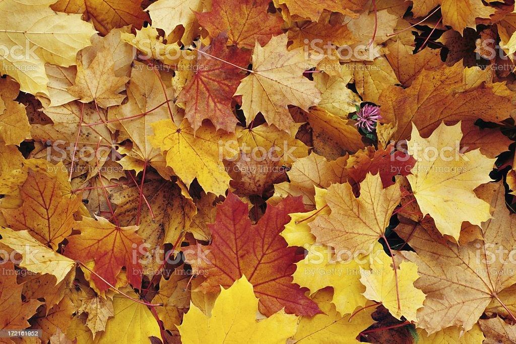 fall leaves XXLarge stock photo