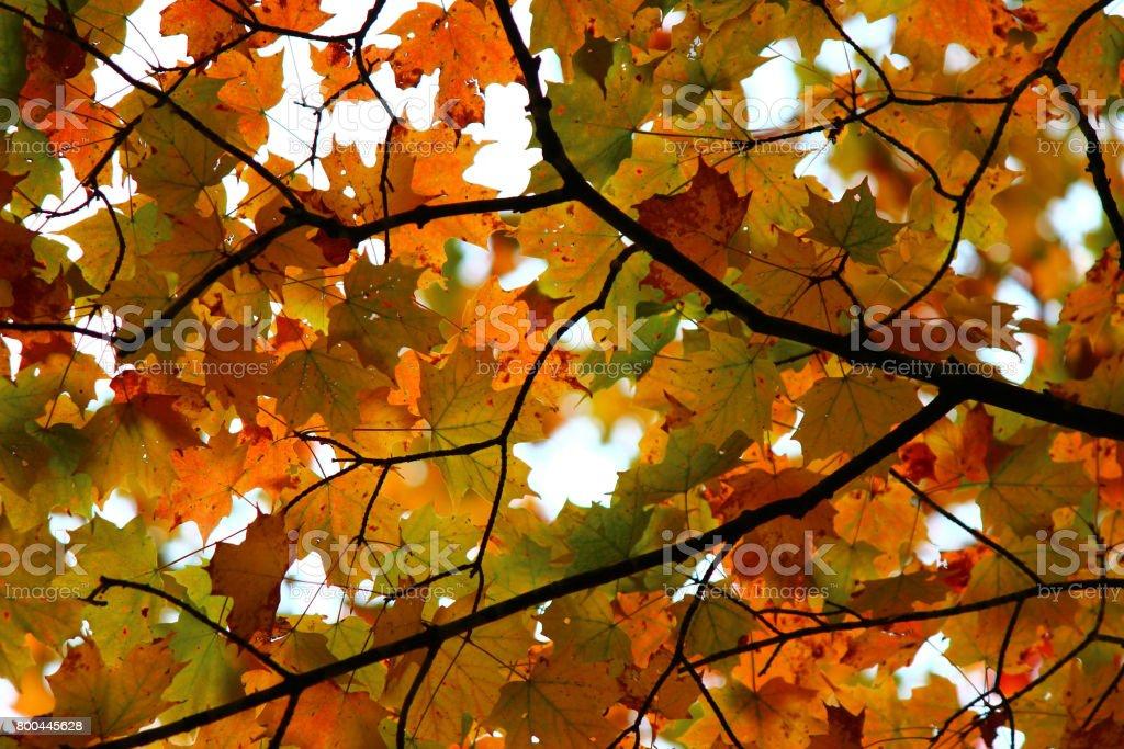 Fall maple leaf canopy stock photo