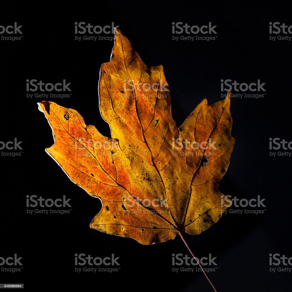 Fall Maple Leaf on Black Background stock photo